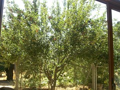 apple tree therissos hania chania