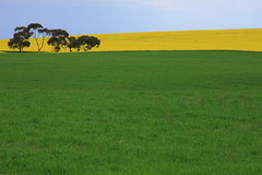 Canola Field Part 4 /  4 (kth517) Tags: spring australia  yellowflowers    canolafield 24105mm bellarinepeninsula victoriastate