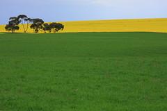 Canola Field Part 4 / 油菜花田 4 (kth517) Tags: spring australia 花 yellowflowers 澳洲 油菜花 春天 canolafield 24105mm bellarinepeninsula victoriastate 維多利亞州