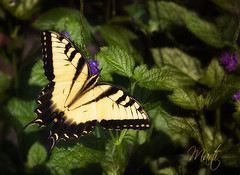 Change.... (FLPhotonut) Tags: nature dedication butterfly purple friendship change swallowtail flphotonut
