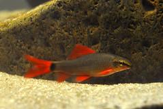 Labeo frenatus (Lépine) Tags: fish nikon sãopaulo sp aquaruim ornamental fishes aquário peixes d90 frenatus labeo ornamentais aquarismo epalzeorhynchos frenatum
