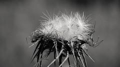 Chiudi gli occhi.. soffia.. ed esprimi un desiderio! (Wolfi91) Tags: ed occhi un e gli fiore bianco nero soffia desiderio chiudi esprimi mygearandme