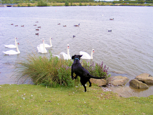 Frightened by Swans!