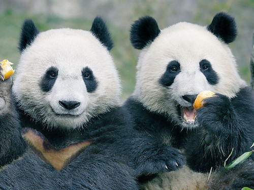 熊貓及台灣黑熊合成圖http://www.flickr.com/photos/anchime/3209181856/