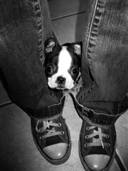 Boston Terrier and Converse (L. Nations) Tags: blackandwhite dog puppy bostonterrier converse