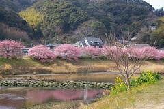 南伊豆町の河津桜