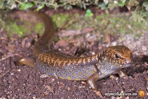 Eulamprus murrayi