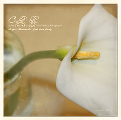 Calla in Her Glory (Jerri Johnson (away)) Tags: white flower macro texture floral square perception dof pov chapeau definition vase callalily dictionary treatment lightrefraction artforart flowerotica goldengallery macromania completeherbal anawesomeshot infinestyle thegoldentouch memoriesbook alledgesstilllife macroflowerlovers empyreanflora tresorsartistiques birthinspring artistictreasurechest imagesforthelittleprince thecubeexcellencygallery luceexprimendi