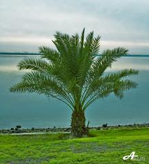 Palm (ZiZLoSs) Tags: tree canon eos palm kuwait aziz 28200mm abdulaziz  450d zizloss  3aziz almanie photoziz