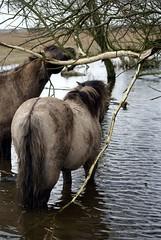 Finding food (Astrid van Wesenbeeck photography) Tags: nature landscapes wildlife wildhorses oostvaardersplassen konikhorses koniks konikpaarden wildepaarden