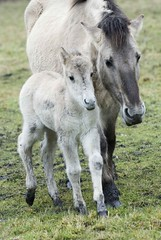 Mother and Child (Harry-Harms) Tags: horse animals konik galope ennemaborg