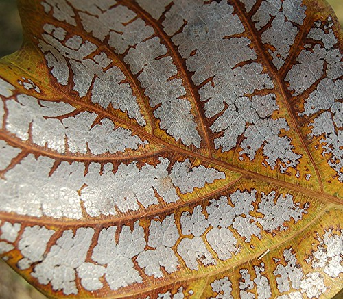 Almond leaf burnished in silver and gold