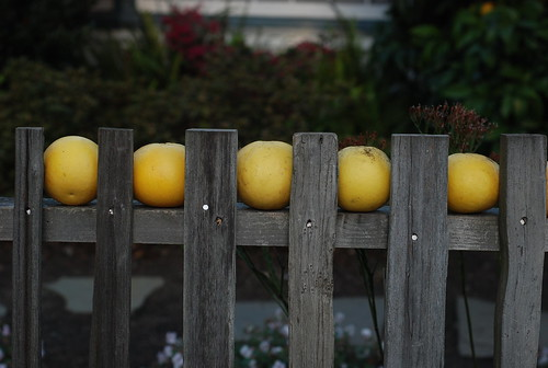Grapefruits on fence