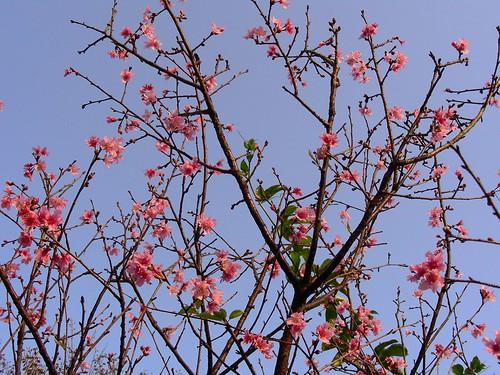 大尖山櫻花