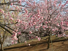 DSC07878.JPG (chinitanglatina) Tags: flowers nature japan spring ome ume yoshino plumblossoms umematsuri