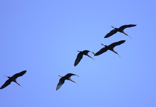 White-faced Ibises - 3/16/2009
