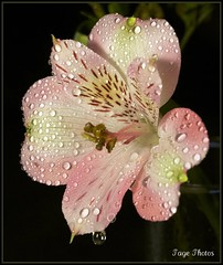 Spring Shower! (iTail ~ Steve Page) Tags: pink white flower macro green love wet water beauty yellow canon shower droplets spring flora soft flickr lily heart sweet young award pistil petal bloomer stamen bloom raindrops waterdrops soe tender gentle peruvian blooming moist excellence cubism reproduce teardrops springshower peruvianlily itail supershot naturesgallery abigfave ultimateshot theunforgettablepictures 5dmarkii vosplusbellesphotos