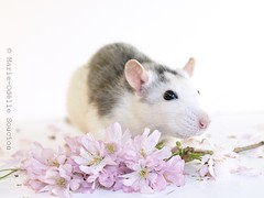 (marieodeliesouciou) Tags: pet pets animal fleurs studio rat olympus printemps rate e510 myrtille rongeur rongeurs rondents rondent
