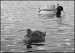 On a quiet day (Kirsten M Lentoft) Tags: bw lake water ducks fineartphotos avianexcellence theperfectphotographer kirstenmlentoft