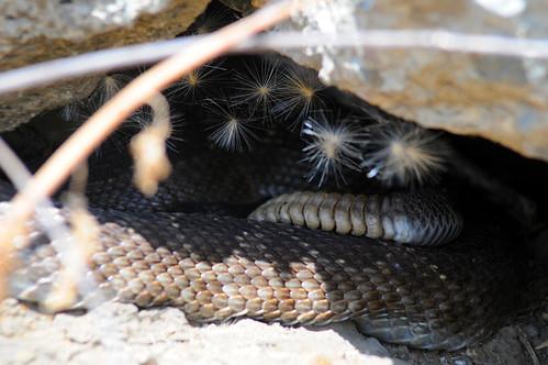 brian big rattler (2)