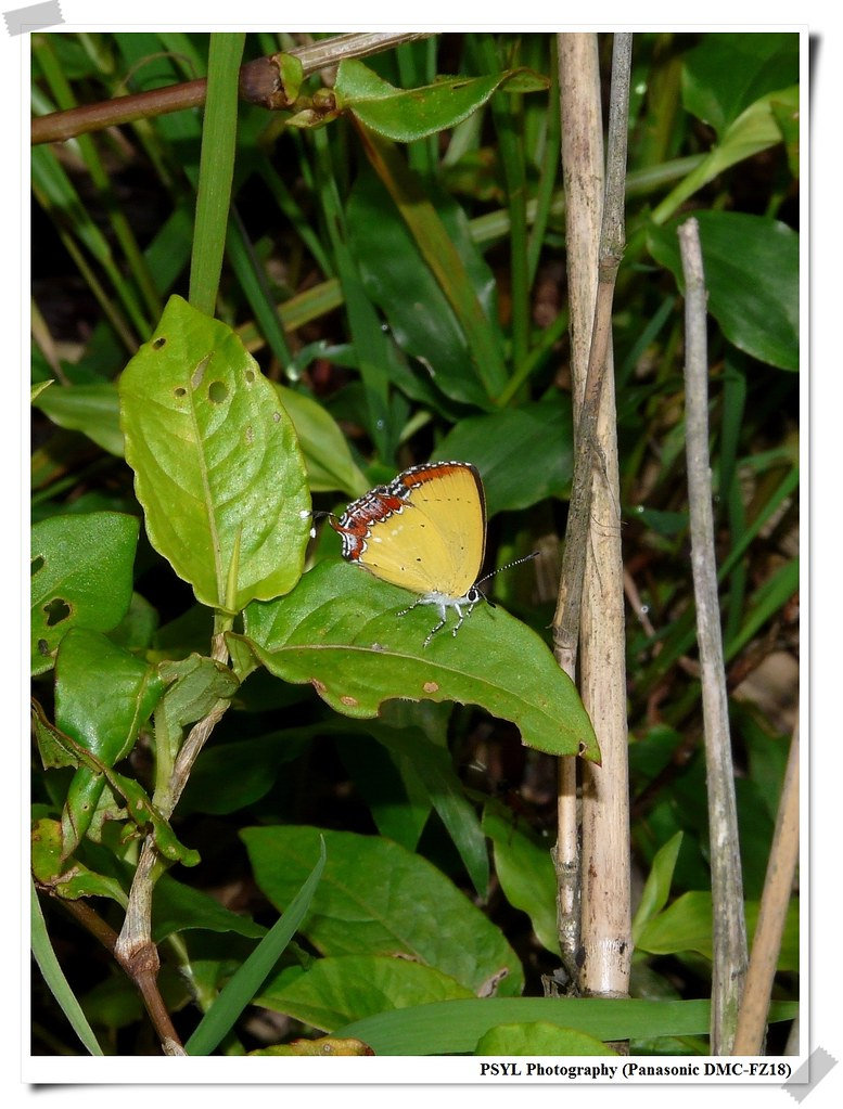 Heliophorus ila matsumurae - 紅邊黃小灰蝶