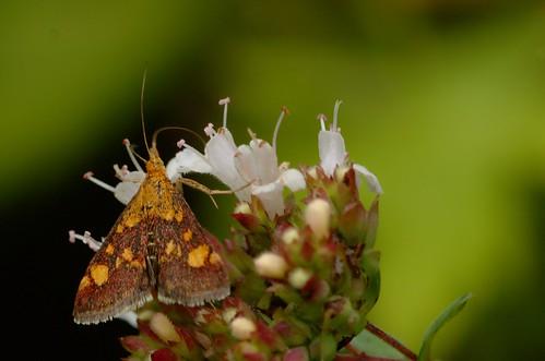 Pyrausta aurata | Muntvlinder - Mint moth
