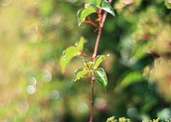 simply ... bokeh ... (_nejire_) Tags: plant green bokeh f16 11am carlzeiss 10faves nejire canoneos400d fave10 planart50mm mhashi carlzeissplanart1450ze 12353g4pmwow ohdearflickrhashiccupsagain