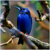 RED-LEGED HONEYCREEPER (™ goraiapick ™) Tags: sweden stockholm soe tropicalbird honeycreeper mywinners abigfave cameradeourobrasil winnerbc magicunicornverybest magicunicornmasterpiece