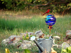 Sunday at home is a treasure (Tea Wells) Tags: male birds cardinal rockgarden wateringcan twofemales myfrontyard therewereabout20cardinalsbuticouldntgetthemallinoneshot