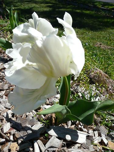 white parrot tulip3