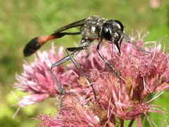 Joe-pye Weed Flower and Thread-waisted Wasp (Ammophila) (lika2009 (in the U.S.A.)) Tags: pink flower rose wasp august 2009 joepyeweed threadwaistedwasp ammophila