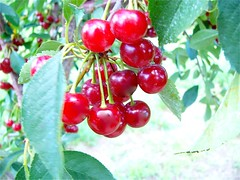 Red tart cherries growing on the Schlueter Che...