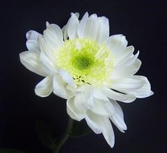 chrysanthemum- 2009 030 (bbic) Tags: friends white flower nature fleurs alb et floare brillianteyejewel naturewatcher spiritofphotography wonderfulworldofflowers mimamorflowers auniverseofflowers platinumpeaceaward