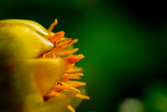 Yellow Flower (John Fenner) Tags: macro sigma105mm nikond80 johnfennerphotography