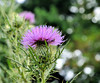 Hope you have a perfect purple Saturday! (Lea and Luna) Tags: usa plant flower green nature leaves garden us dc washington purple bokeh thistle saturday arboretum prickly usnationalarboretum hpps perfectpurplesaturday happyperfectpurplesaturday
