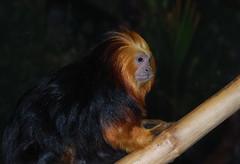 Gold streaks (afagen) Tags: favorite animal zoo washingtondc smithsonian dc washington nationalzoo tamarin nationalzoologicalpark leontopithecuschrysomelas goldenheadedliontamarin
