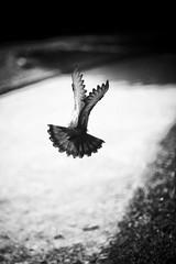 trouver son chemin (yo SENTIMENTO) Tags: blackandwhite birds noiretblanc oiseaux marche2 marche3 survivante marche5 marche6 marche4 marche1 marche8
