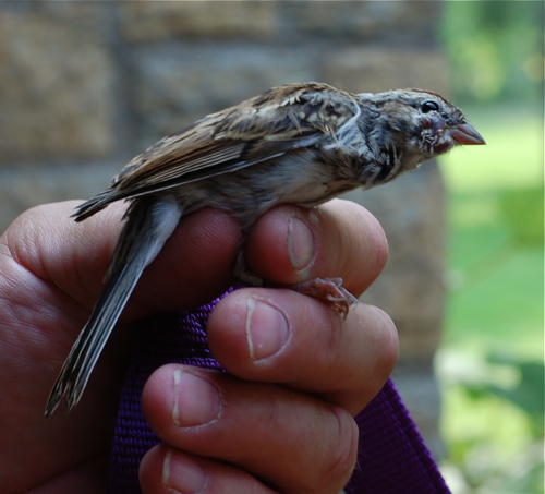 Chipping sparrow with tumor