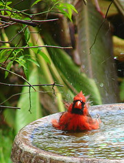 Splish, Splash, Taking a Bath (Texas to Mexico) Tags: red rain backyard bath birdbath colorful texas cardinal explore raindance happyhappyjoyjoy getrdun allthewildlifeseemstobehappywefinallyhaverain