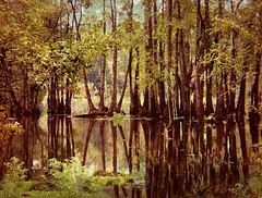 Cypress Swamp Reflections (scilit) Tags: sky plants reflection texture water beautiful forest river flora southcarolina swamp plantation cypress bog reflexions legacy magnoliaplantation potofgold arboreal naturesfinest naturesgarden artdigital naturepoetry southcarlina abigfave treesinarow platinumheartaward platinumheartawards picturefantastic betterthangood goldstaraward 24karatgold photographyanddigitalart mirrorser autumn2009 imagesforthelittleprince miasbest secretenchantedgardens highenergyplaces pog~~den14gallery qualitys