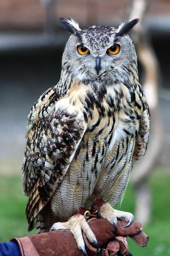 126 - Eurasian Eagle Owl
