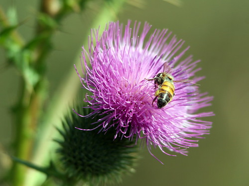 Honeybee On Thistle 20090917