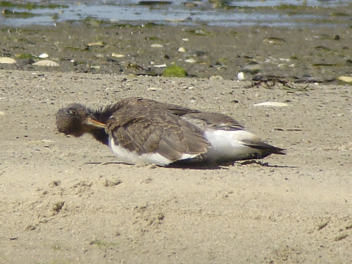 young oystercatcher 2
