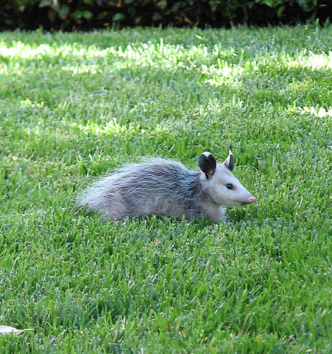 Ack spotted this one on my neighbors lawn