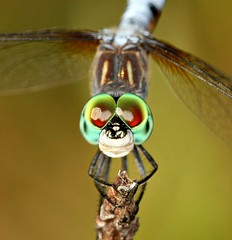 Blue Dasher (DrPhotoMoto) Tags: male dragonfly jim pachydiplaxlongipennis superaplus aplusphoto
