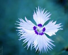 20090921_9999_101b (Fantasyfan.) Tags: blue flower macro topv111 closeup tag3 taggedout garden botanical tag2 tag1 bokeh fantasyfanin
