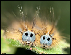 LACKEY MOTH CATERPILLARS (JEDWARD) ( VERY BAD HAIR DAY ) (Grasping-air) Tags: moth caterpillars lackey