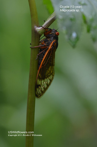 13-year Cicada - Magicicada sp.