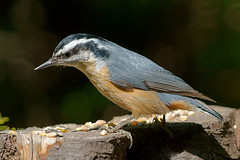 Red-Breasted Nuthatch - Formal Pose (Jerry Curtis) Tags: nuthatch redbreasted