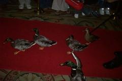 Peabody ducks (courtneysmilestoo) Tags: memphis peabody